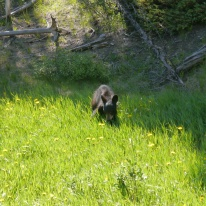 Bear cub, Jasper national park
