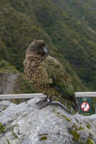 Kea bird, south island parrot